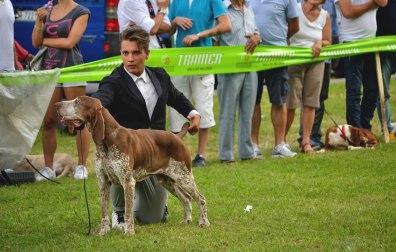 esposizione canina cani da ferma bracco italiano cac cacib