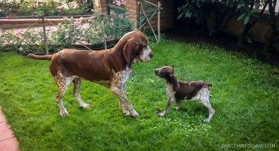 cucciolo adulto bracco italiano roano marrone