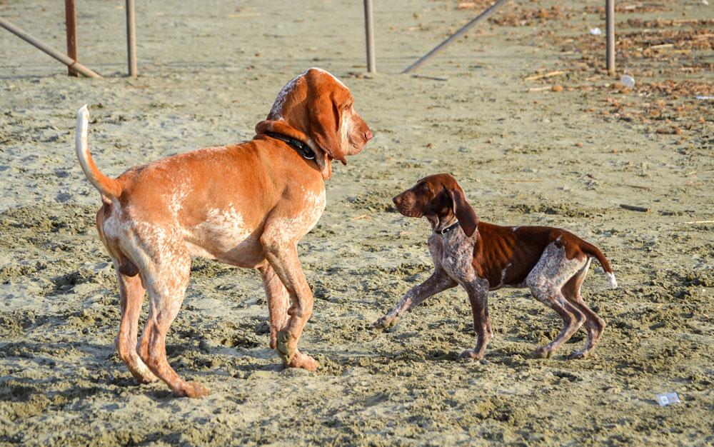 cucciolo bracco italiano roano marrone