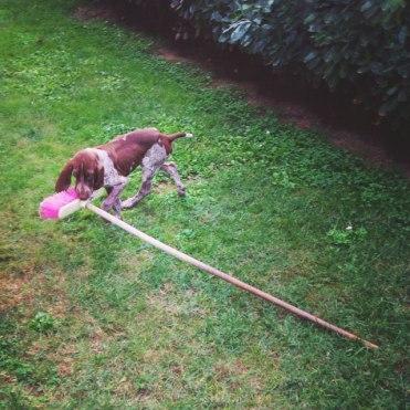 cucciolo bracco italiano scopa giardino