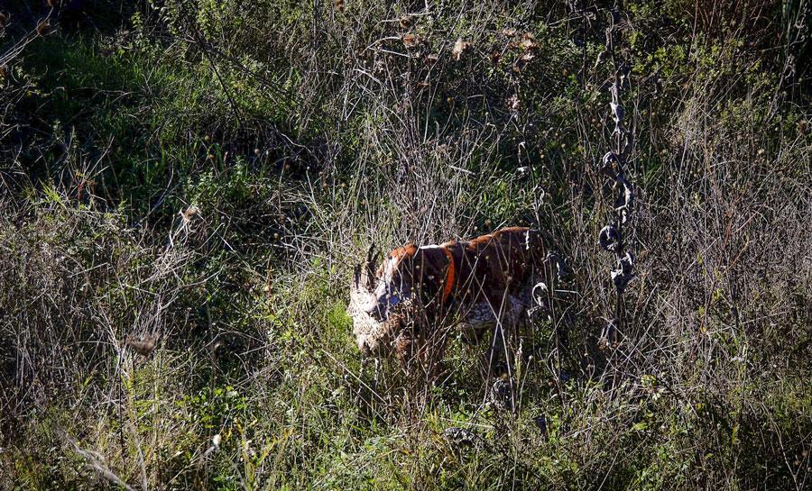 riporto caccia bracco italiano roano marrone