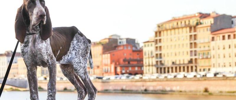 cucciolo bracco italiano roano marrone lungarno pisa