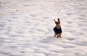 bracco italiano neve