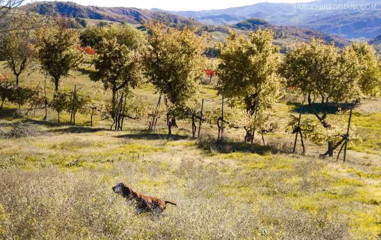 bracco italiano roano marrone tonaca di frate caccia