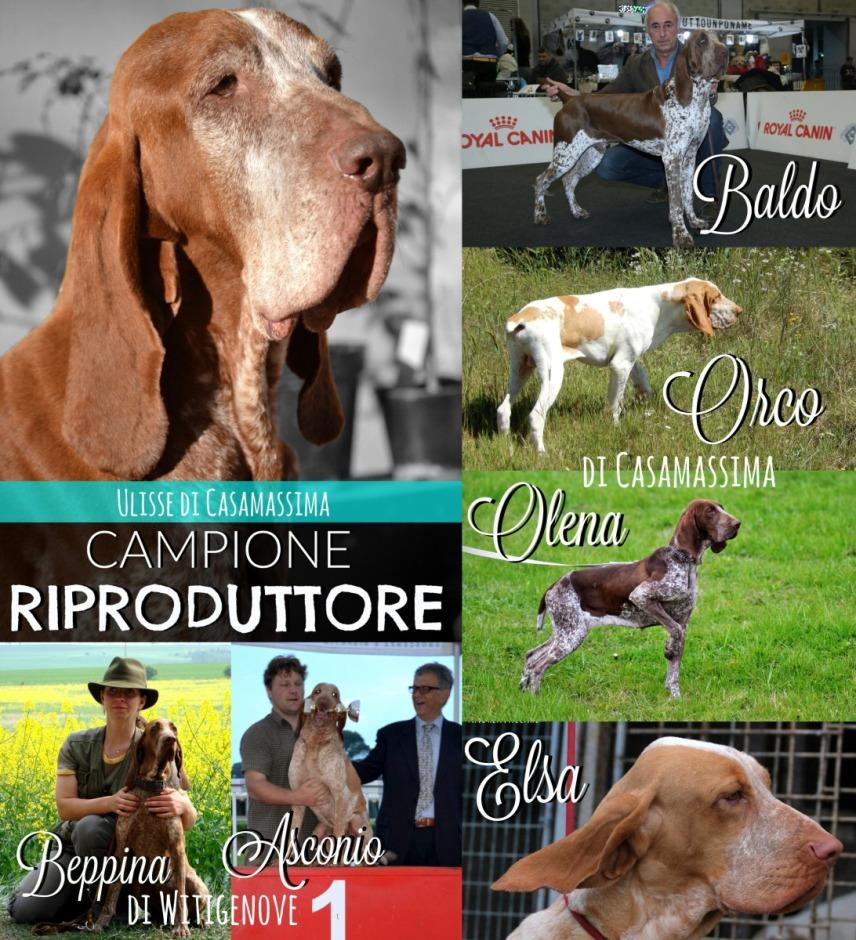Per merito dei risultati ottenuti dai suoi figli, Ulisse è stato incoronato CAMPIONE RIPRODUTTORE. Grazie ad Asconio & Beppina di Witigenove + Baldo + Elsa + Orco & Olena di Casamassima.
