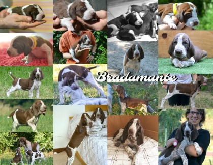 Bradamante