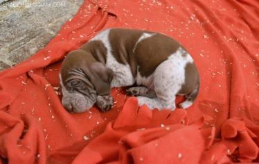 cucciolo bracco italiano roano marrone bianco arancio