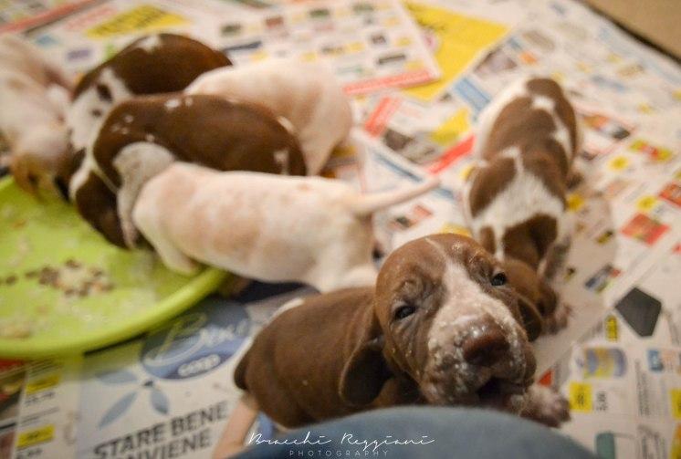 cucciolo bracco italiano roano marrone bianco marrone bianco arancio