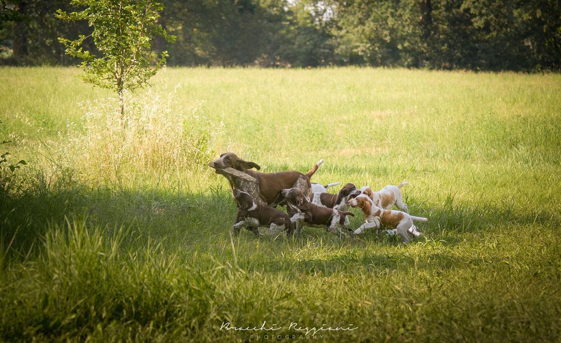 famiglia cuccioli bracco italiano