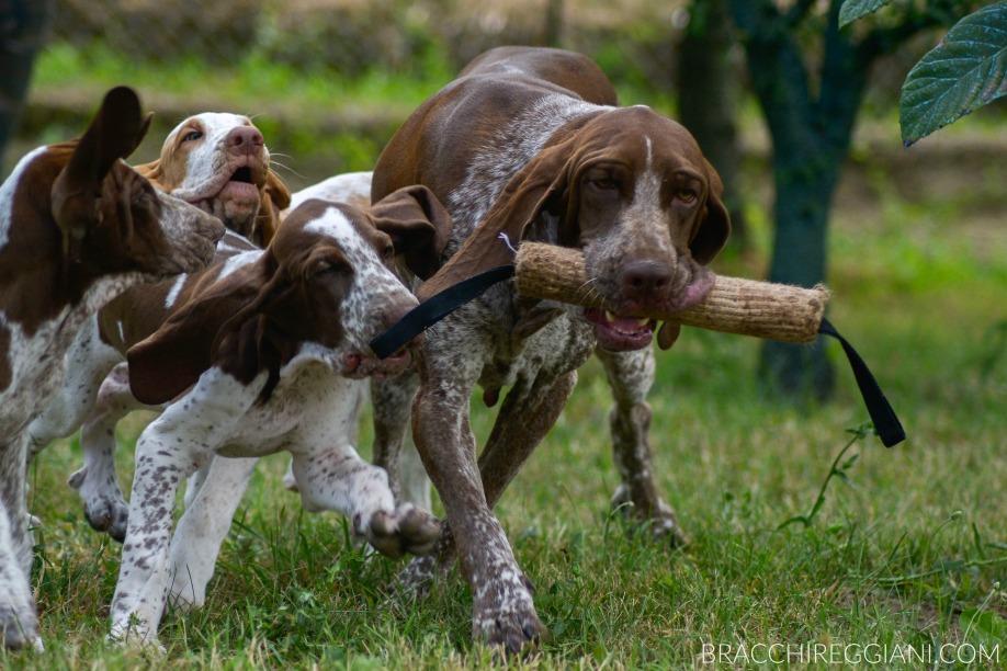 bracco italiano gioca con i cuccioli