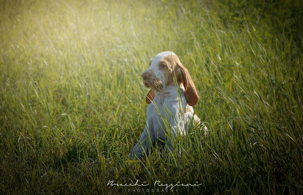 cucciolo bracco italiano bianco arancio