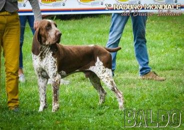 bracco italiano roano marrone esposizione raduno cani