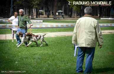 bracco italiano roano marrone esposizione raduno