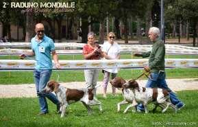 bracco italiano roano marrone esposizione canina