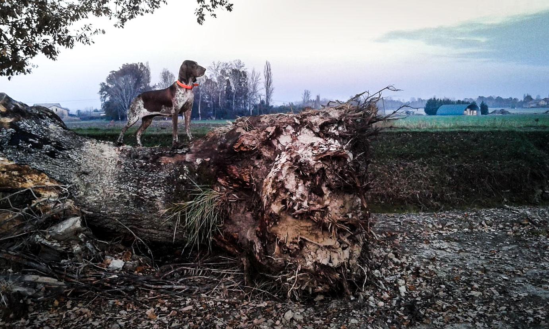 bracco italiano a caccia