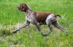 bracco italiano cane gravidanza
