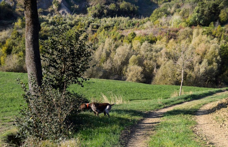 caccia bracco italiano riporto fagiano ferma