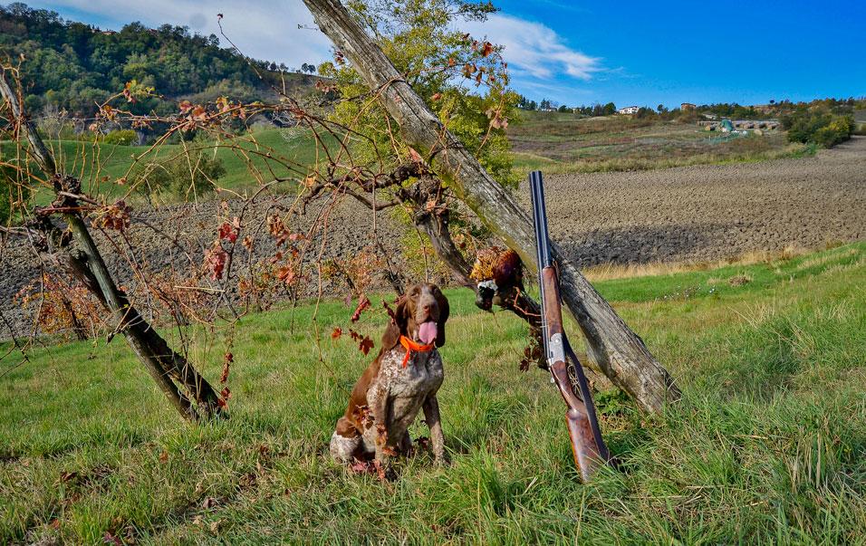 caccia bracco italiano riporto fagiano