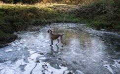 cane da caccia ferma bracco italiano