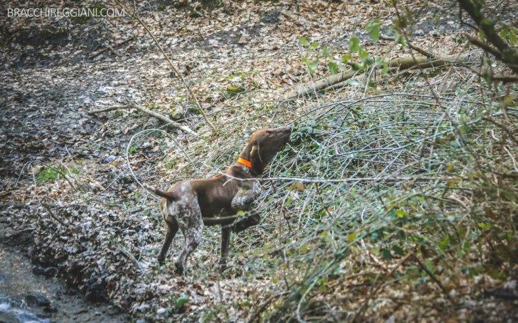 caccia bracco italiano cane da ferma