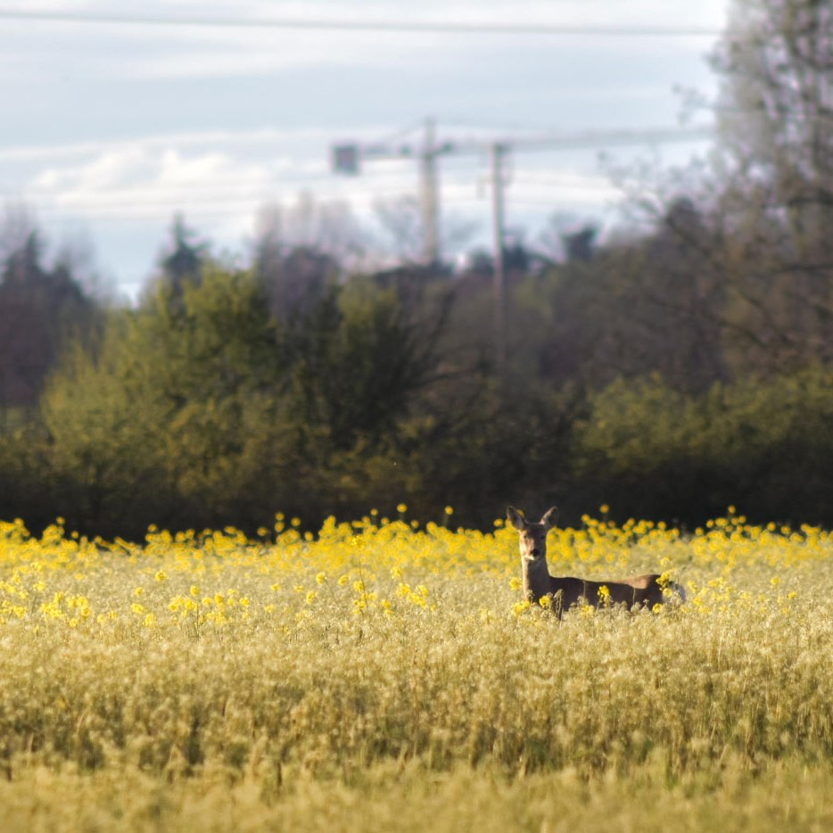 capriolo zona di ripopolamento reggio emilia caccia