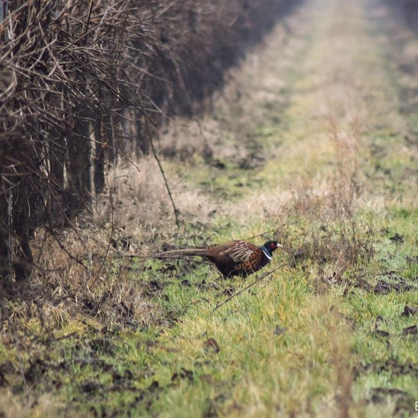 caprioli zona di ripopolamento reggio emilia fagiano