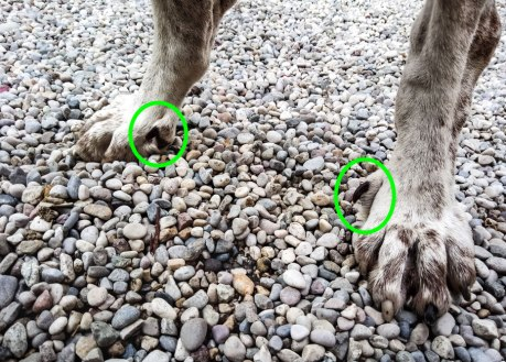 sperone semplice cane zampa bracco italiano
