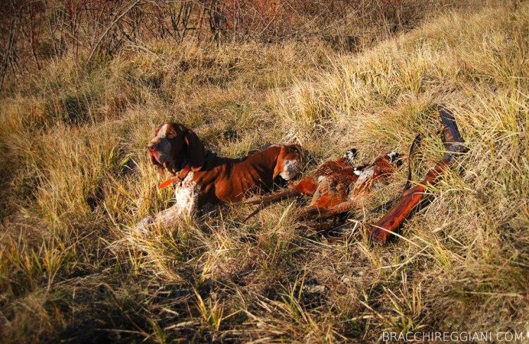 caccia ferma cane bracco italiano riporto bosco pianura