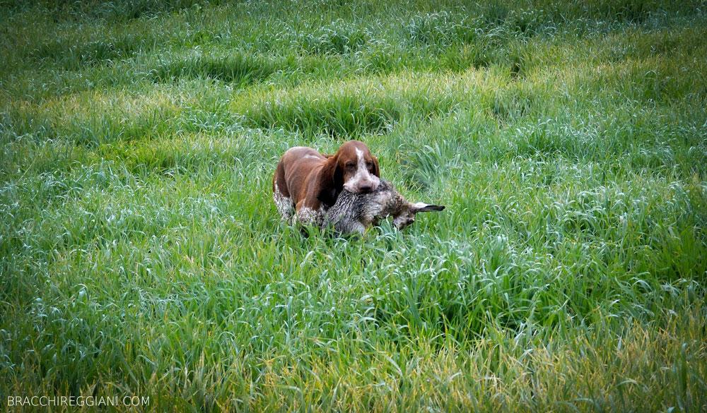 caccia ferma cane bracco italiano riporto bosco pianura fagiano lepre