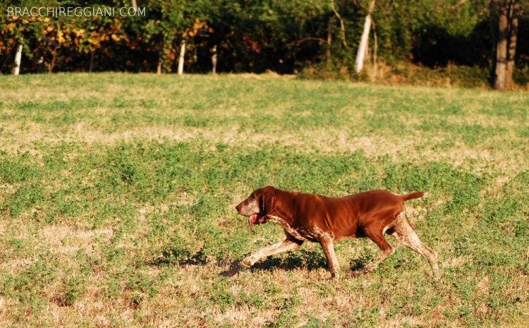 cucciolo adulto bracco italiano roano marrone bianco arancio bianco marrone caccia ferma riporto fagiano