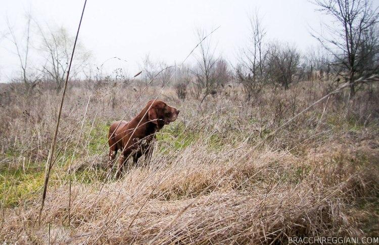 cucciolo adulto bracco italiano roano marrone bianco arancio bianco marrone