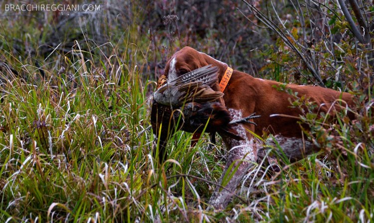 caccia ferma cane bracco italiano riporto bosco pianura fagiano