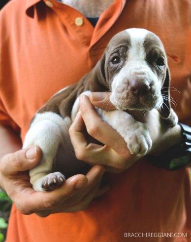 cucciolo bracco italiano bianco marrone roano arancio