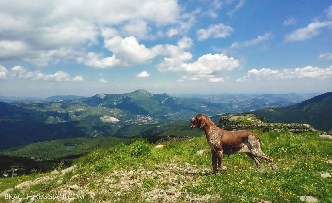 bracco italiano cane montagna