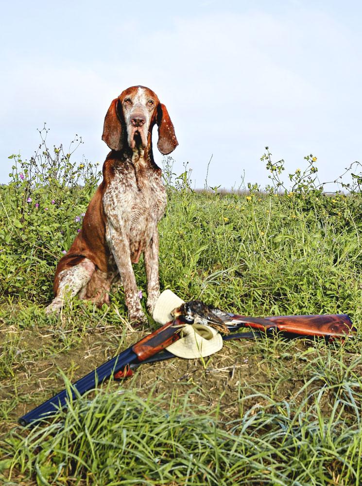 caccia cane bracco italiano