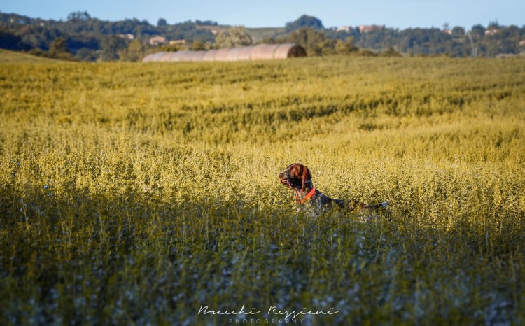 caccia bracco italiano ferma