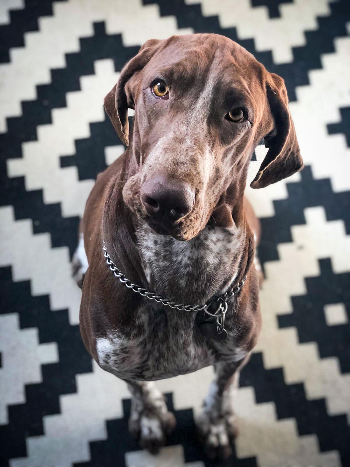 dog portrait gundog