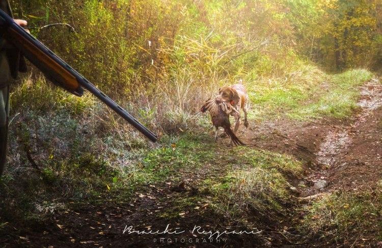riporto bracco italiano caccia