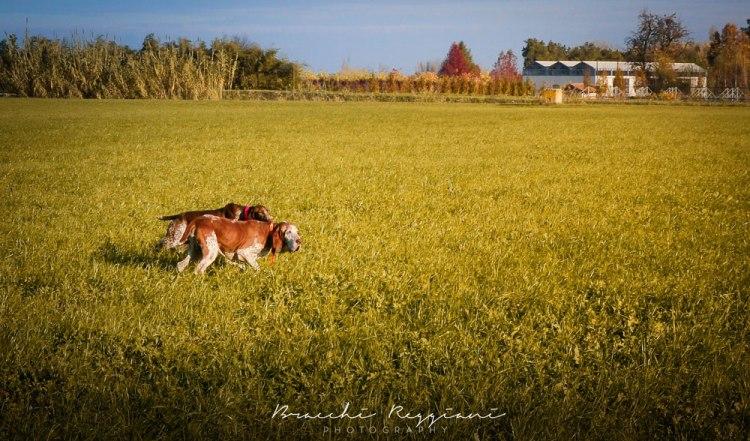 caccia cani bracco reggio emilia