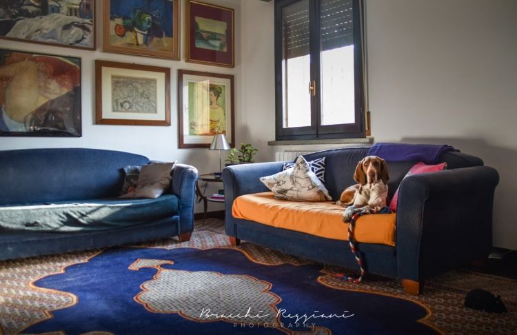 bracco italiano in casa sul divano