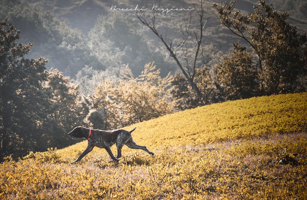 bracco italiano femmina a caccia in fase di trotto