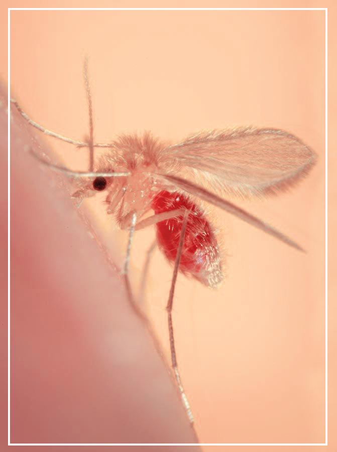 pappatacio flebotomo leishmania leishmaniosi