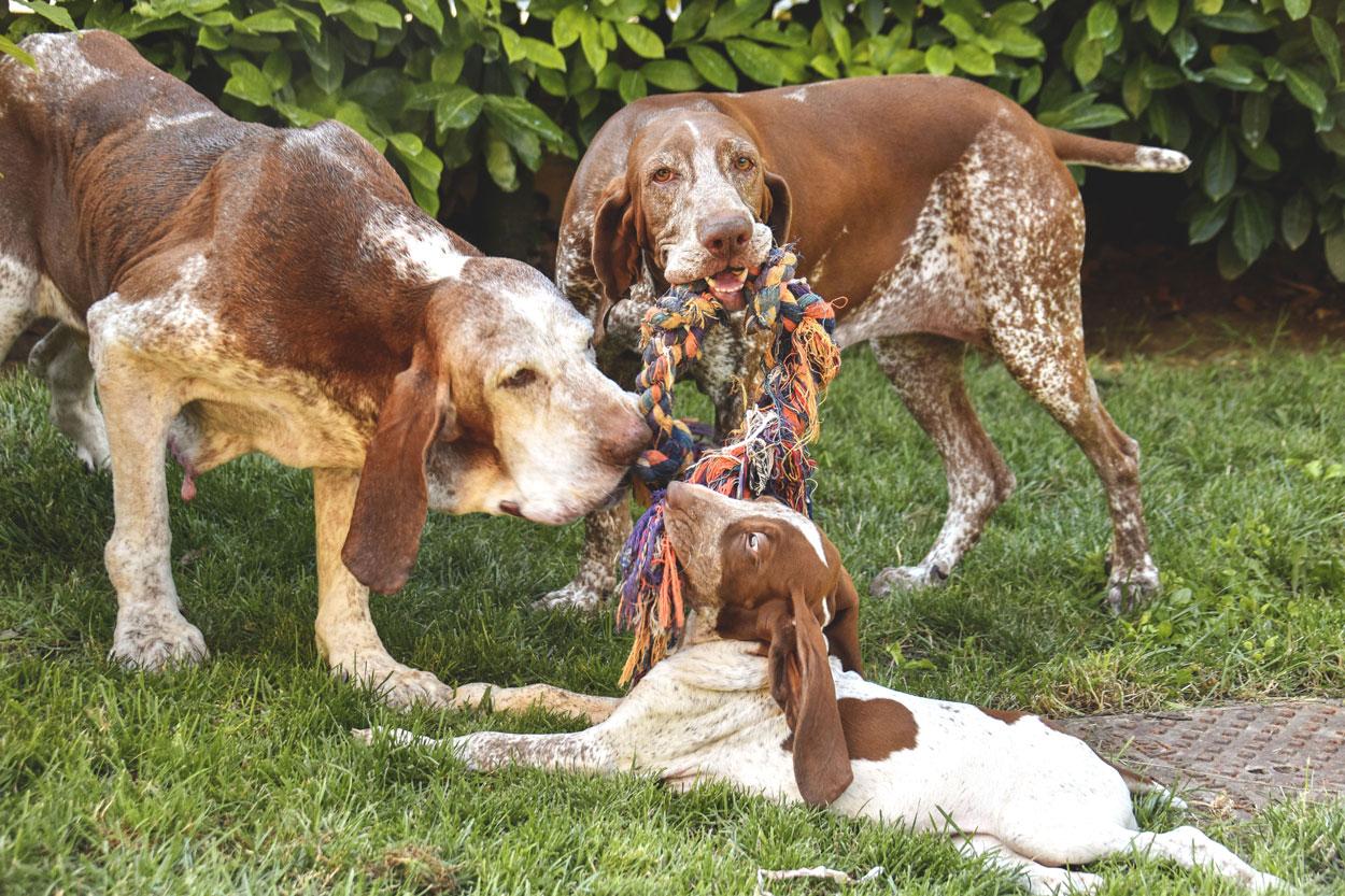 bracco italiano cucciolo e adulto