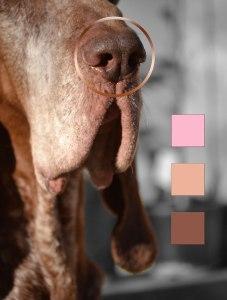 colori naso standard bracco italiano