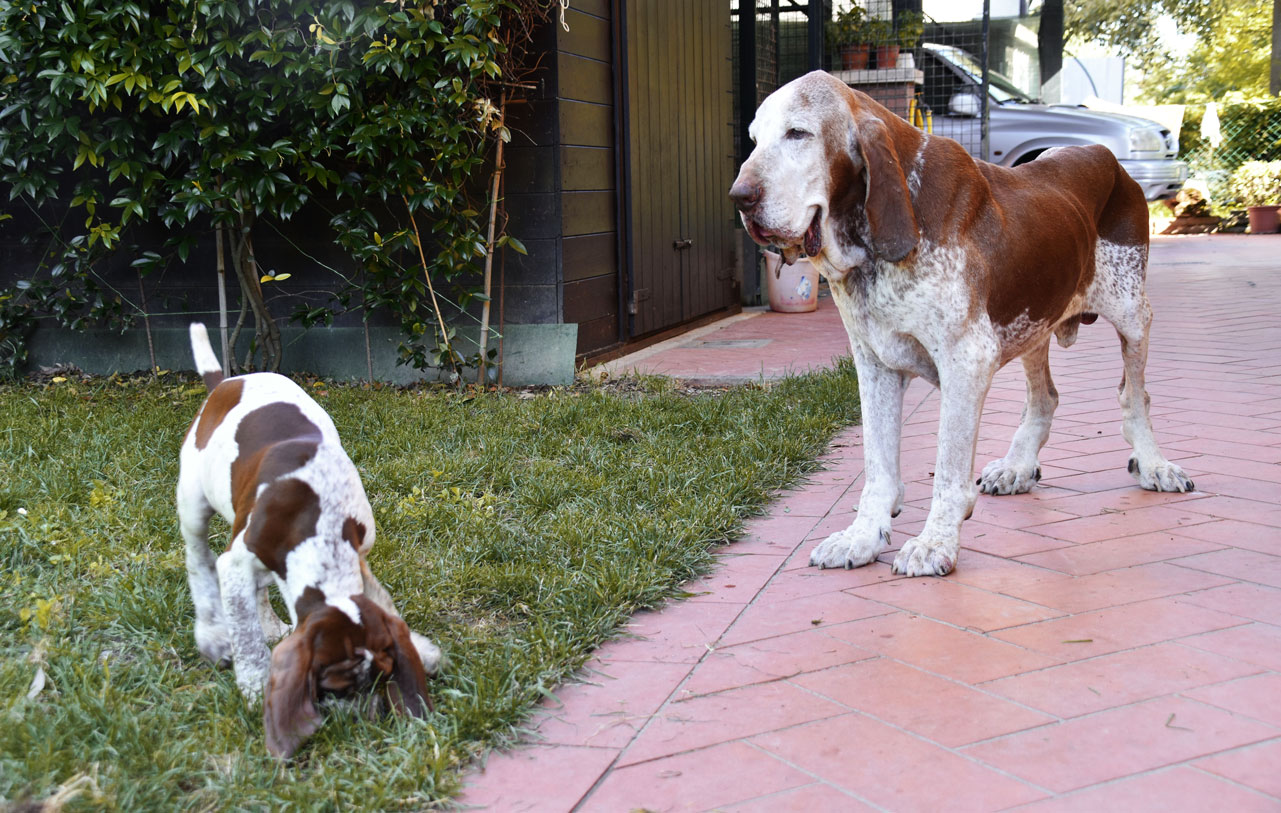 ulisse bracco cucciolo
