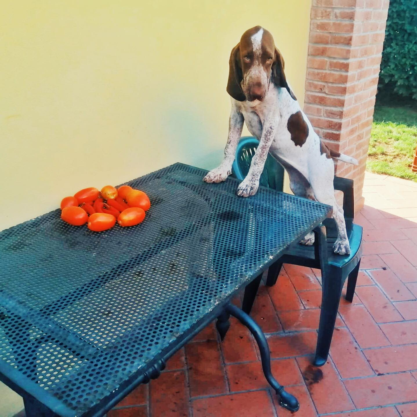 cucciolo bracco italiano cascina laghetto