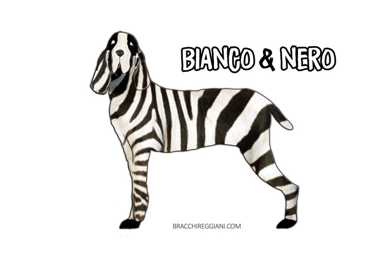 bracco italiano colore bianco e nero standard