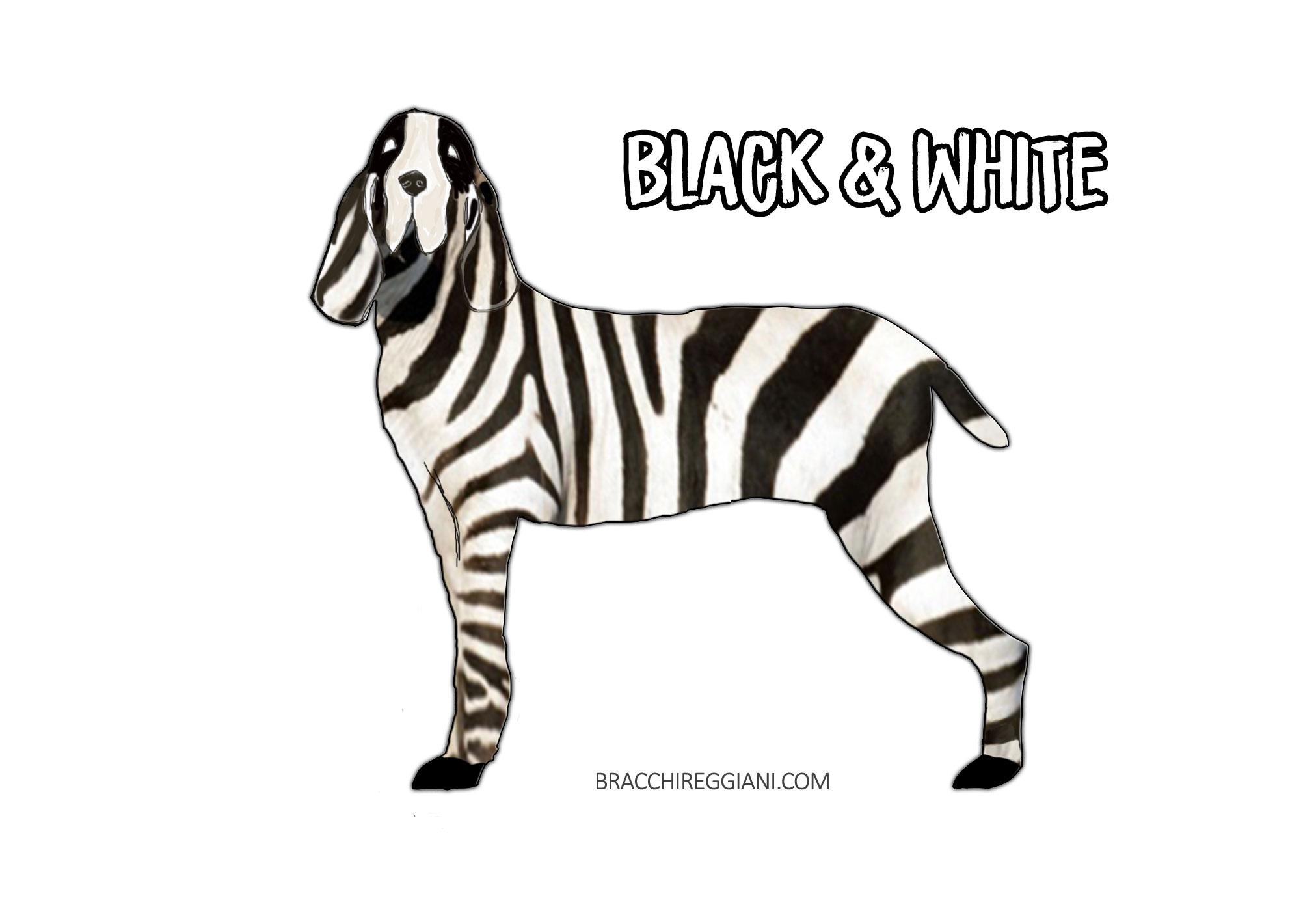 bracco italiano black and white colour standard