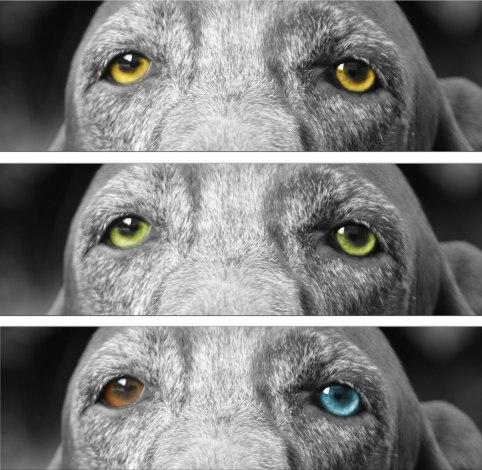 occhi gazzuoli bracco italiano colore occhi standard