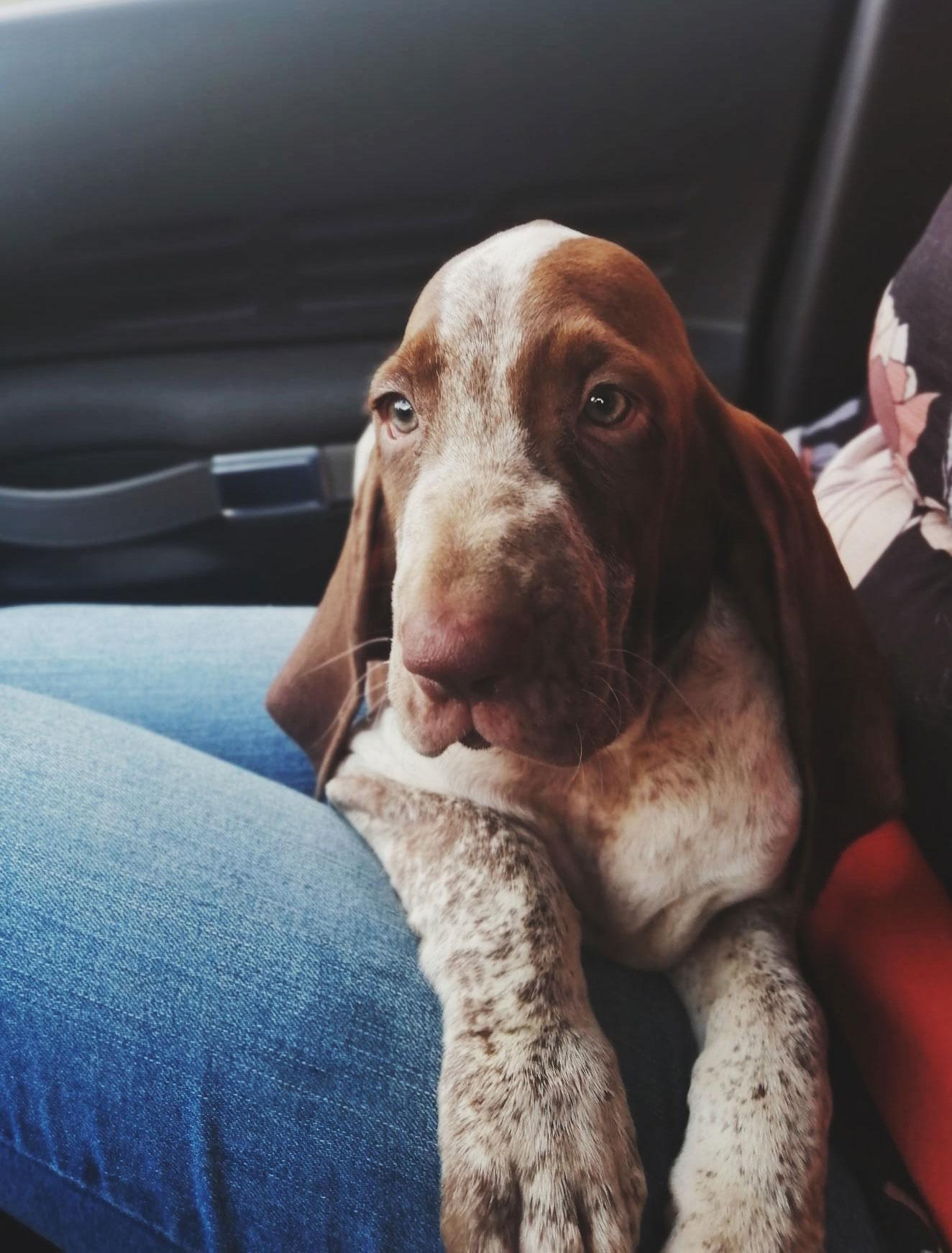viaggio auto cane